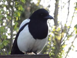 Mr Magpie by kernowtokyojoe