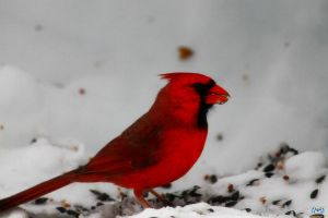 Proud Papa Cardinal by LifeThroughALens84