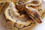 Lemon Blast Ball Python 12 by FearBeforeValor