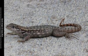 Curly Tail Lizard Stock 4 by Cassy-Blue