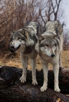 Brother Wolves Two by ladynightseduction