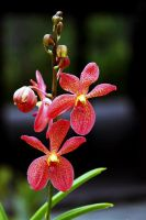 Orchid 02 by josgoh