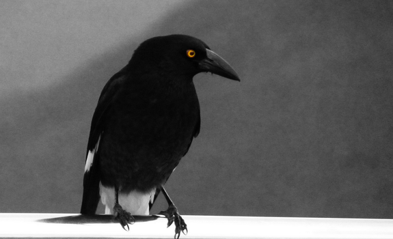The Pied Currawong by RyaniteDesign