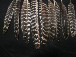 Turkey Flight Feathers by TheNewCoyote