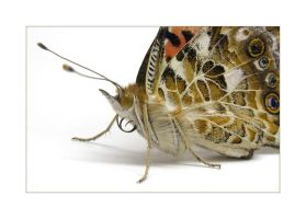 Painted Lady by solodaddy