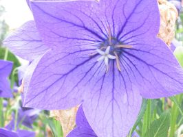 Blue balloon flower by jinzou-photo