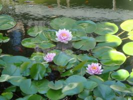 Lilies and Lily Pads 2 by Lillagon