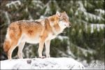 Wolf in light snow by Lupinicious