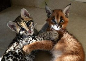 Margay and Caracal by michelous