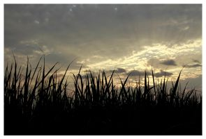 CANE FIELDS DUSK by planetzog