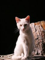 Stock White Cat 1 by Carol-Moore