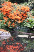 Orange Rhodendrons Reflected by dbvictoria
