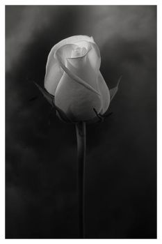 The rose and stormy mood by Floriandra