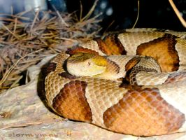Copperhead by stormymay888