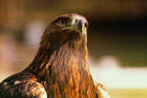Eagle IV by deoroller