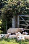 Sheep 3 by Eagle-Photography