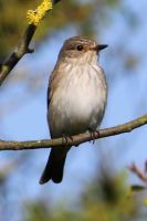 Spotted Flycatcher by Cantabrigian