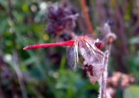 Red Dragonfly 1 by LadyAhz