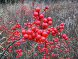 Red Berries 1 by Jenna-RoseStock