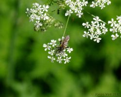 Fly on hogweed by friedapi