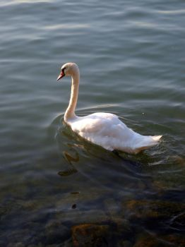 Swanheart by riotgirl6661