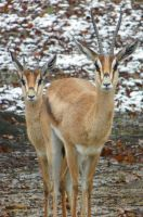 Grant's Gazelles in the First Snows of Winter by DingoDogPhotography