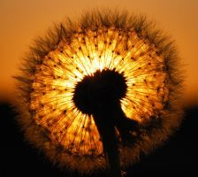 Dandelion Sunset 2.0 by KilianSSL