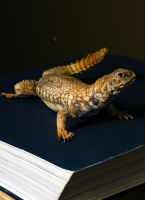 Uromastyx Lizard Taxidermy Mount by Meddling-With-Nature