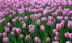 Tulips 14 by zaphotonista