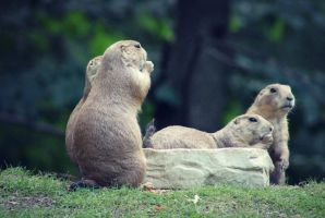 marmots by Hurricane007