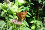 A butterfly by Silvannia