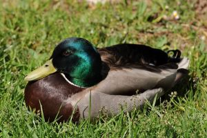 Male duck by parisky-stock