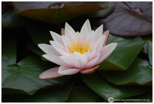 water lily 3 by snappy-dave