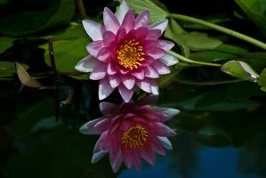 Pond Lillie Reflection by GONE-EVERLONG