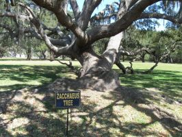 Dave\'s Pics 2 341 Florida Vac 2014 Zacchaeus Tree by crazygardener
