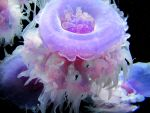 Crown Jellyfish by mroyat94