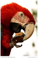 Green Winged Macaw by In-the-picture
