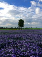 Purple fields by Kaddayah
