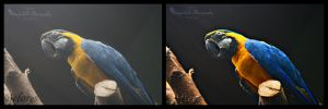 Blue and Yellow Macaw Before and After by Thunderbolt-Designs