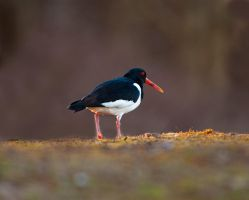 Oyster catcher by pixellence2