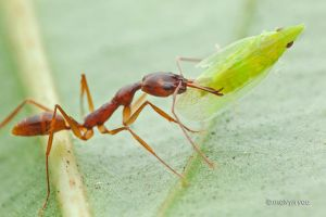 Trap Jaw Ant with hopper prey by melvynyeo
