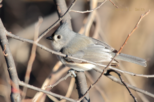 Tufted Titmouse 9 by Gerryanimator