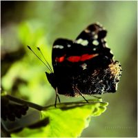 Red Admiral by estellamestella