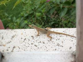 A Gecko on St.Croix. by SweetlyAddicted