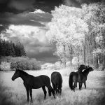 Horses Dreams Infrared by MichiLauke