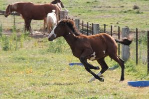 Bay Minimal Overo Foal 9 by How-You-Remind-Me