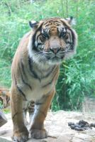 tiger 3.8 by meihua-stock