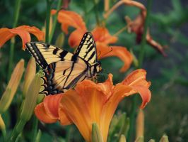 Monarch Butterfly with Tiger by Unipolly