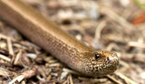 Smiling Slow worm by Xs9nake