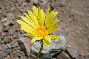 Panamint Daisy 2 by connorz16